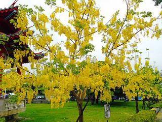 Cassia Baum